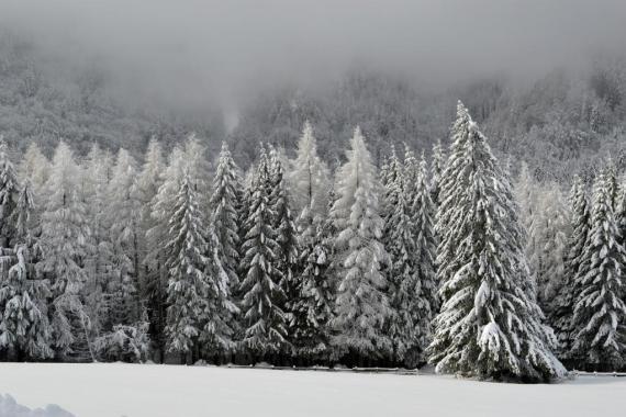 Forêts de sapins enneigés